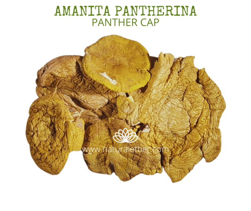 Natural Ether Website Images AMANITA PANTHERINA 2