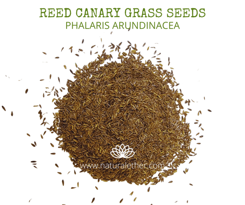 Natural Ether Website Images REED CANARY GRASS SEEDS 2 (1)
