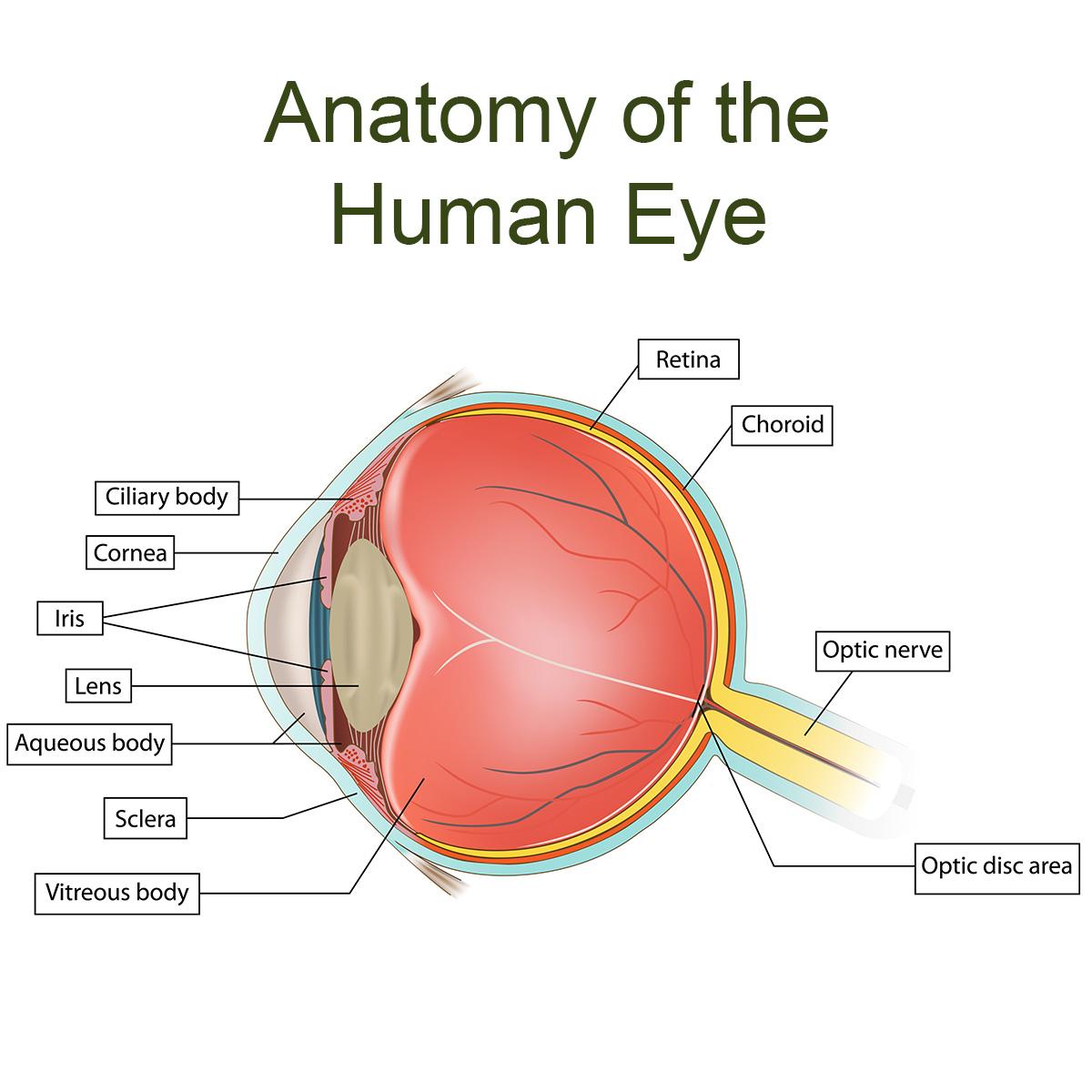hight resolution of eye anatomy