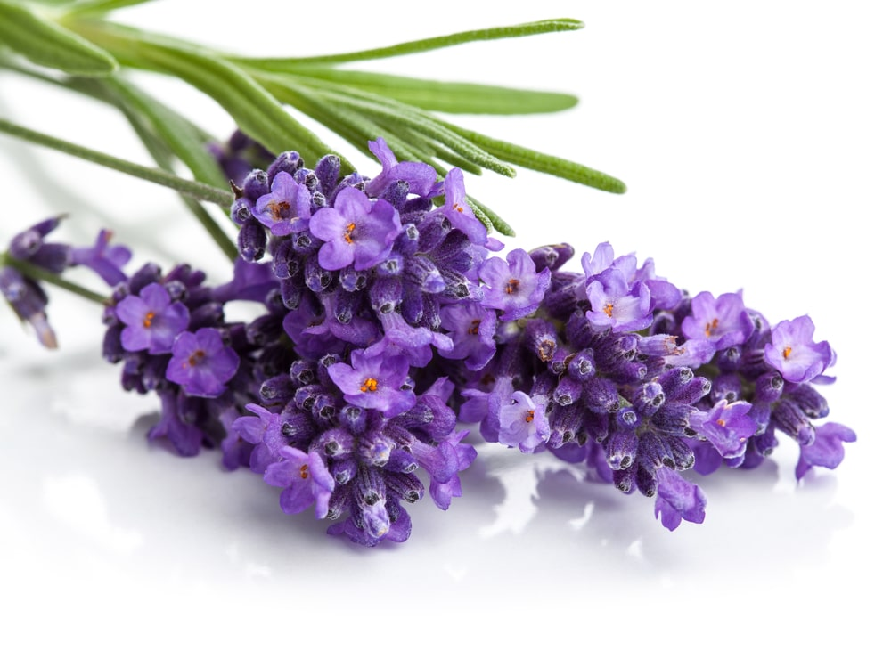 Lavender health benefits