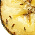 How To Get Rid of Fruit Flies and Gnats Fast