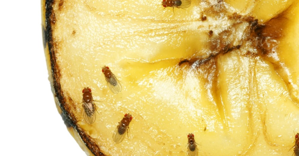 How To Get Rid Of Fruit Flies And Gnats Fast Natural Food Series