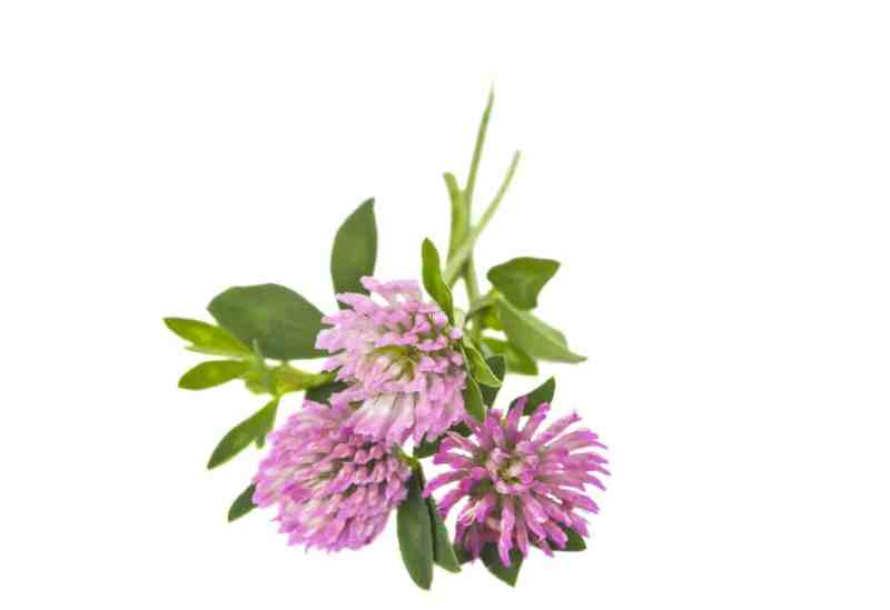 11 Incredible Health Benefits of Red Clover