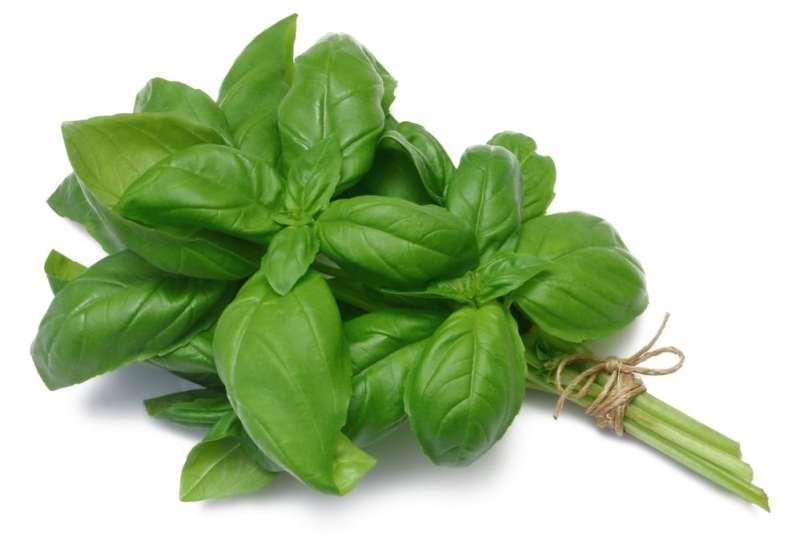 13 Amazing Health Benefits of Holy Basil