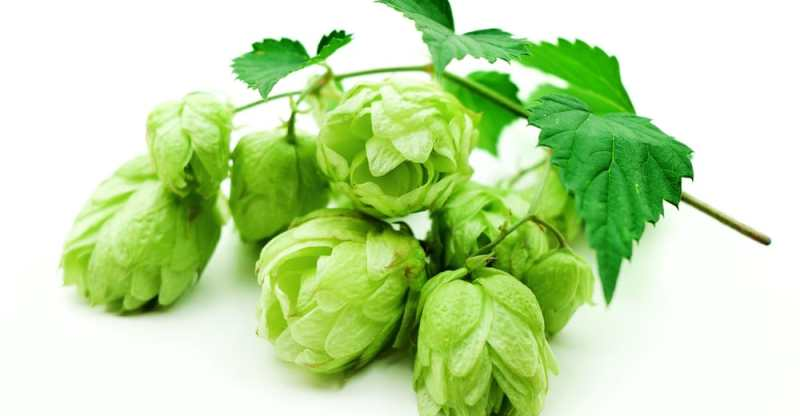 10 Amazing Health Benefits of Hops