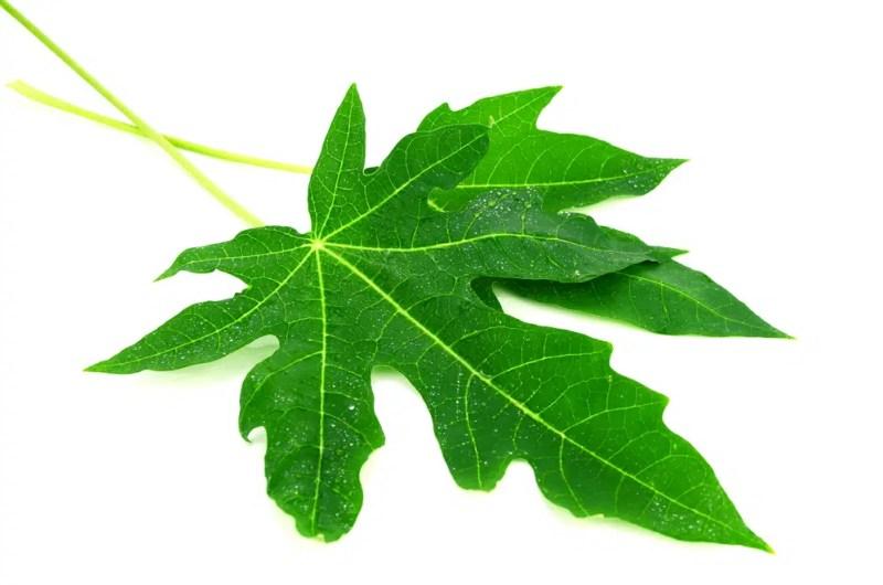 13 Amazing Benefits of Papaya Leaves