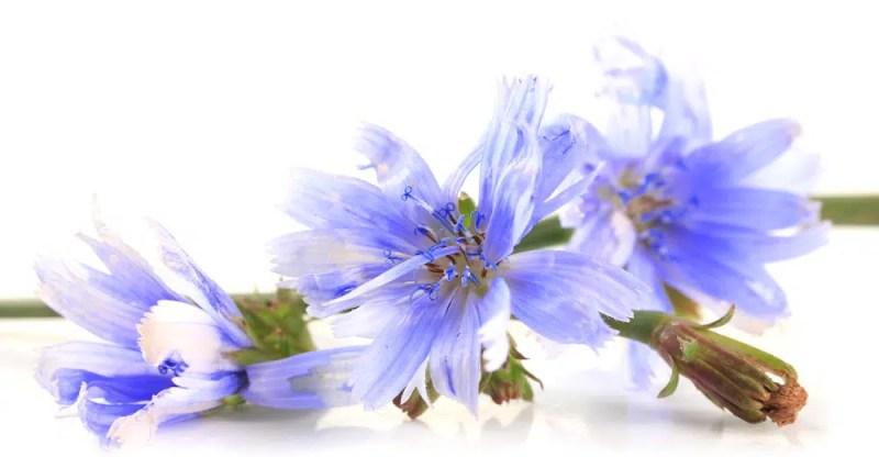 11 Amazing Health Benefits of Chicory