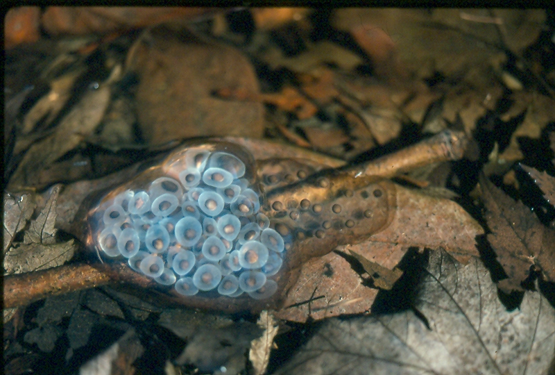 Vernal Pools Animals  Salamanders