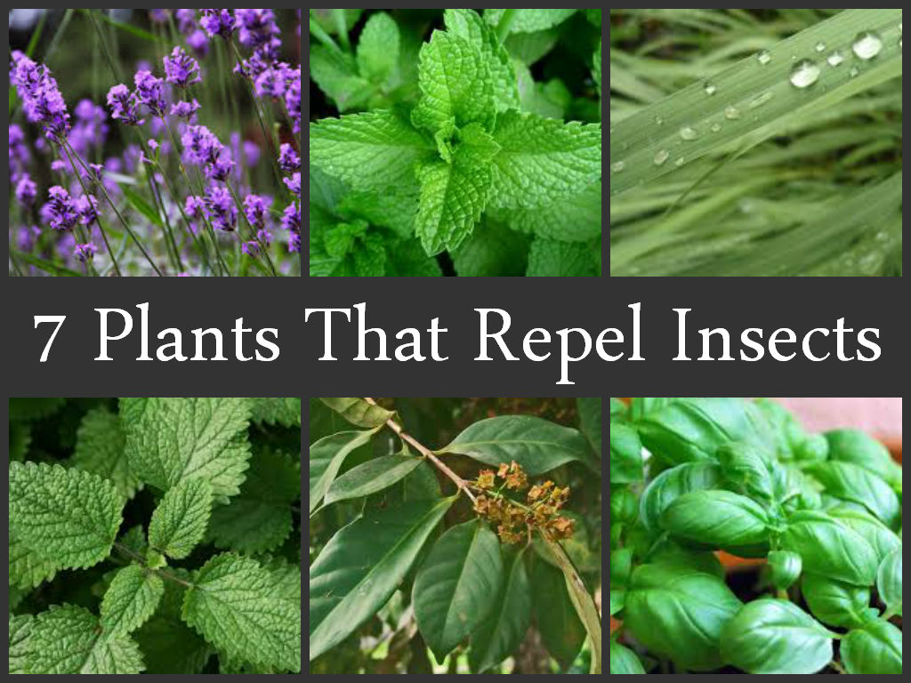 Plants That Repel Insects Ecogreenlove