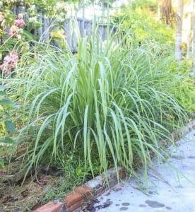 6 ervas que repelem moscas