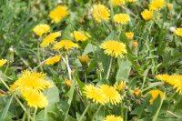 18 Edible Backyard Weeds With Extraordinary Health Benefits