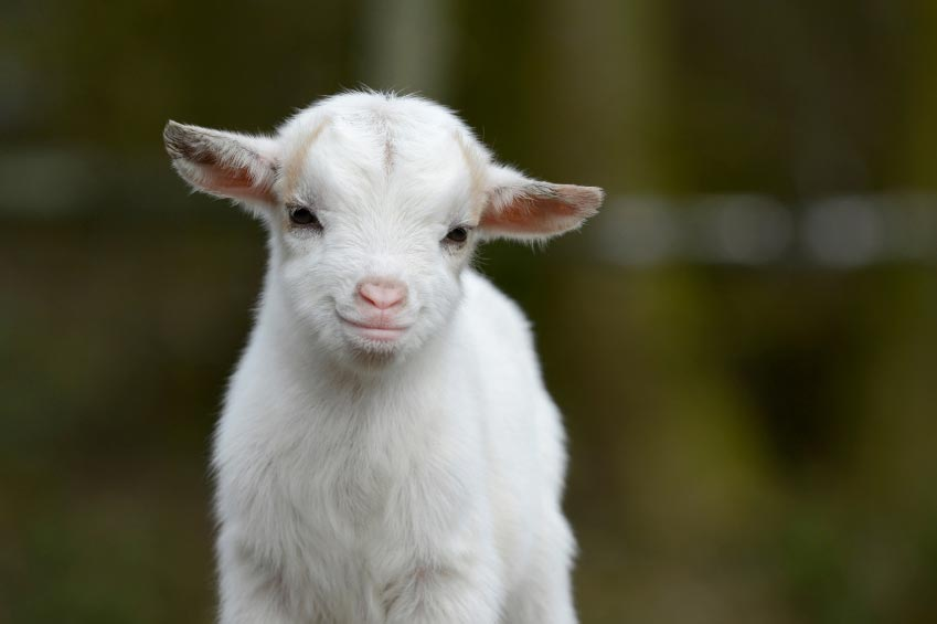 20 Reasons Why Keeping Goats Will Change Your Life For The