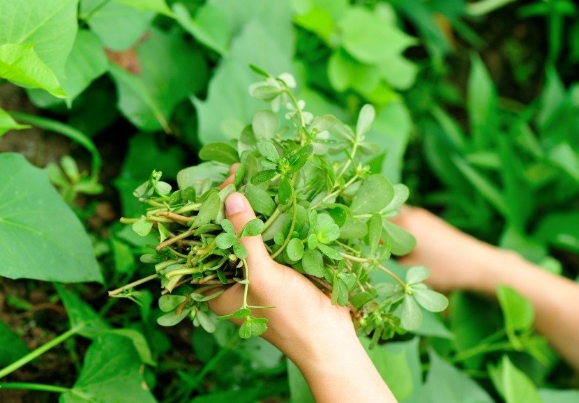 Purslane The Edible Weed With Extraordinary Health Benefits