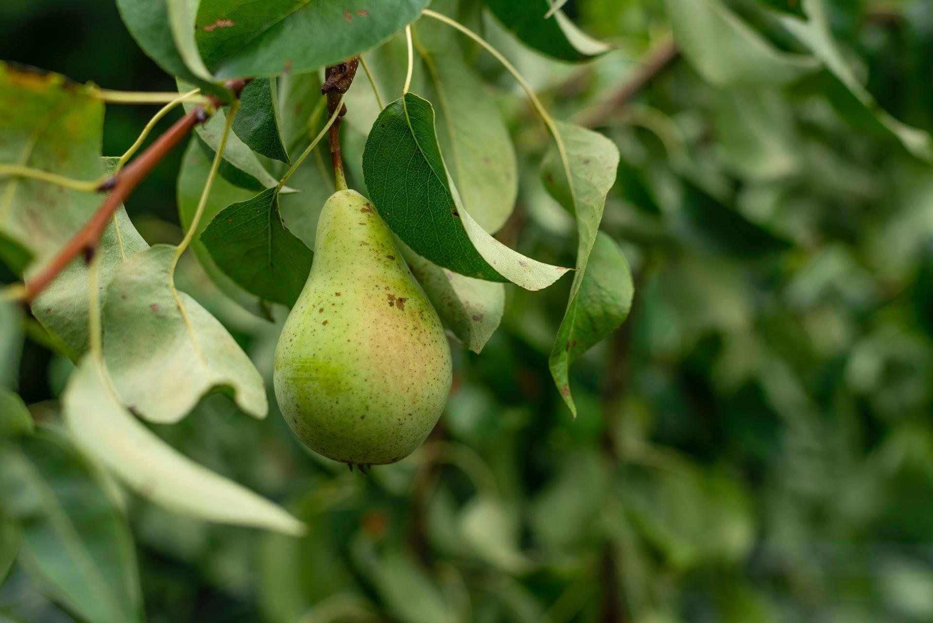 Saisonkalender September Obst Birnen