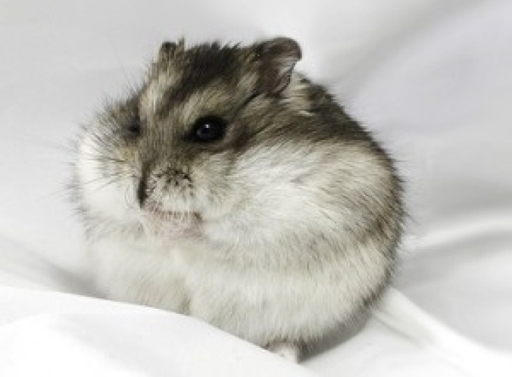 campbells-dwarf-hamster-300x221