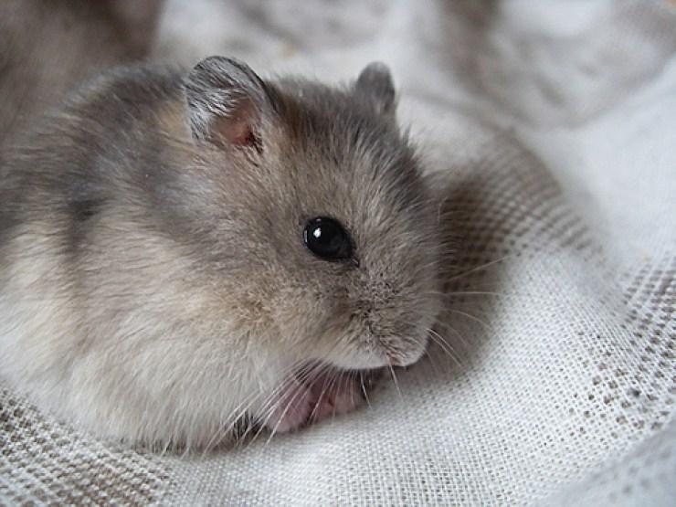 saphire-hamster