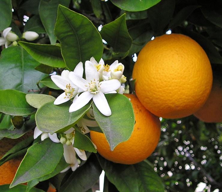 arancio_dolce