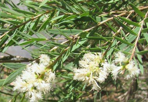 Olio-essenziale-di-tea-tree