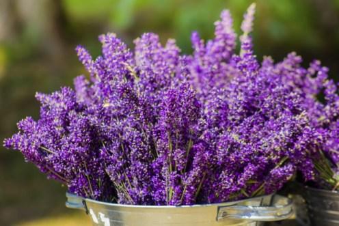 come-coltivare-lavanda-vaso-giardino-640x426