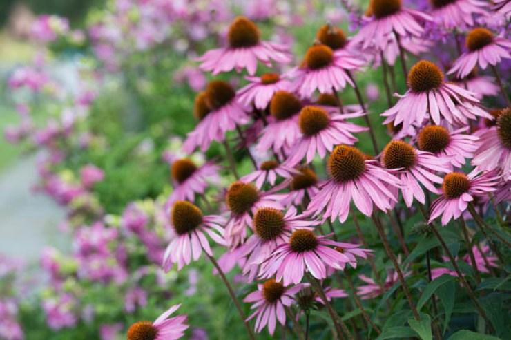 fiori viola di echinacea