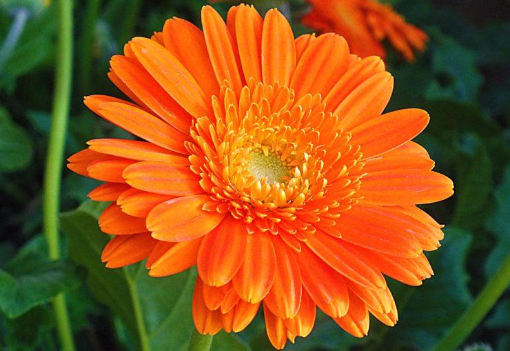 fiore di calendula color arancio