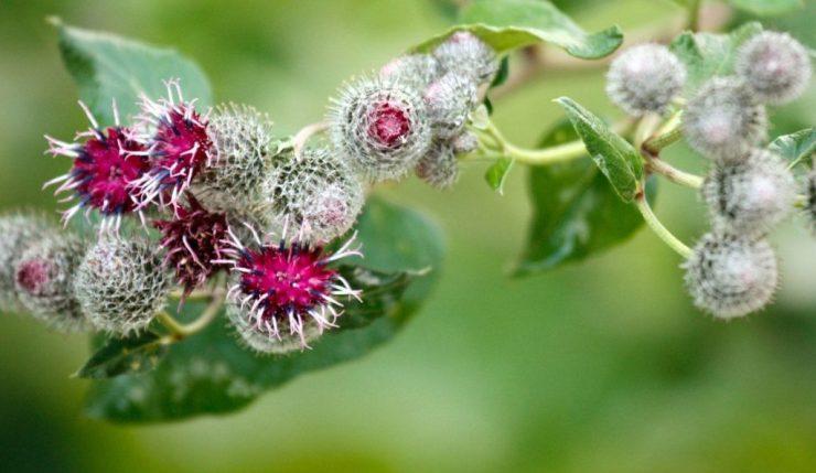 fiori di bardana