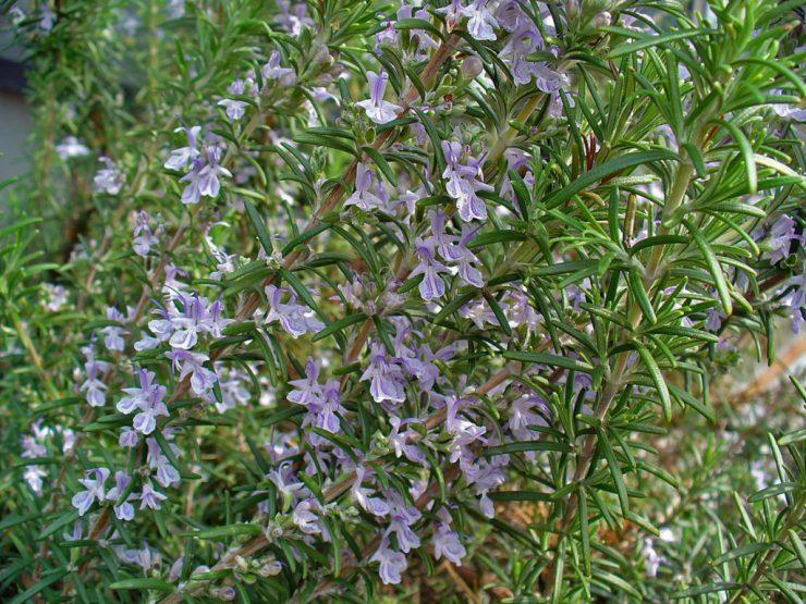 rami di rosmarino con fiori violetti