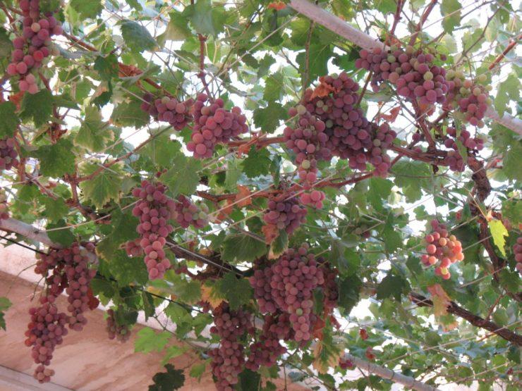 traliccio con uva