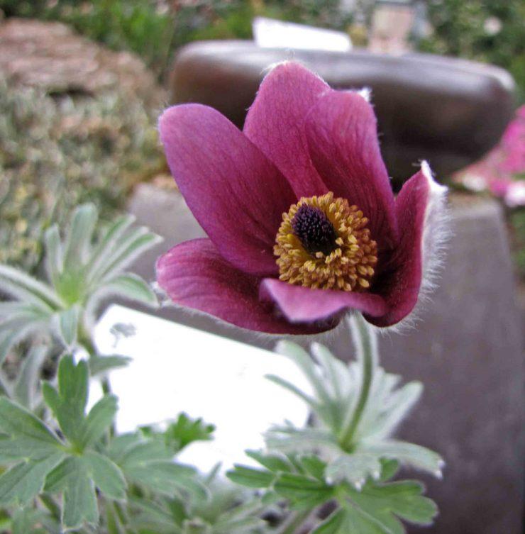 fiore viola di pulsatilla koreana