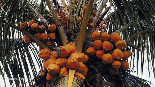 GMO coconut