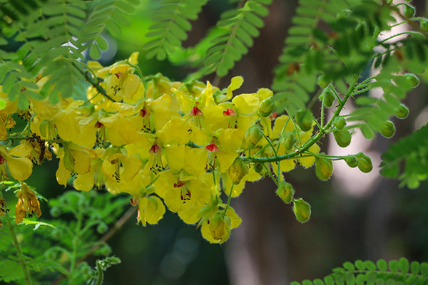 Image: Study finds that Caesalpinia mimosoides (mimosa thorn) exhibits antioxidant properties