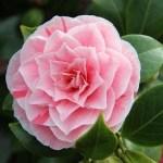 Rejuvenate & Nourish Your Hair with Camellia Oil