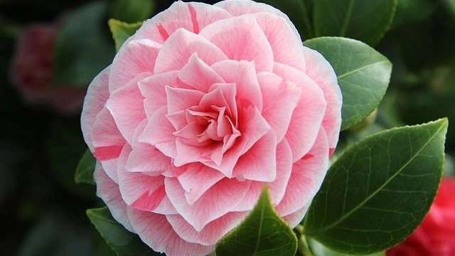 camellia-oil-for-hair-growth