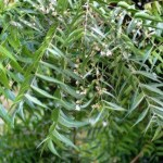Gentle & Effective Treatment for Scalp Issues with Neem Oil