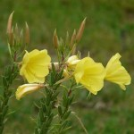 Nourish Hair & Skin with Evening Primrose Oil