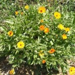 How to Make Your Own Calendula Oil – 2 Methods