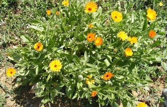 calendular plant