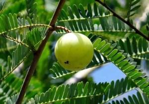 indian-gooseberry-for-hair-gel