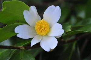 camellia-oleifera