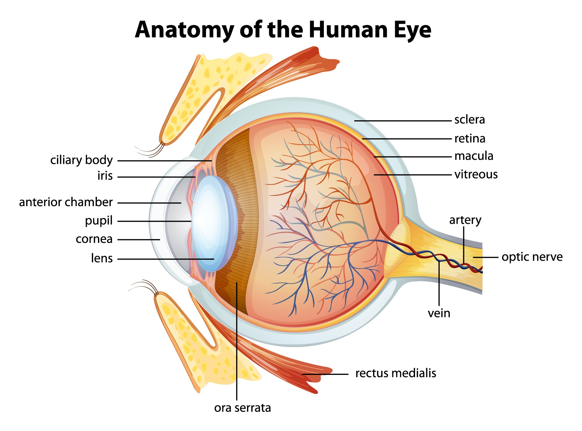 hight resolution of human eye anatomy