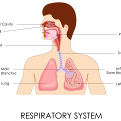 Labled Diagram Of The Lungs Gst Addressable Smoke Detector Wiring Natural Chest Congestion Remedies: Causes & Treatment | Remedies.org