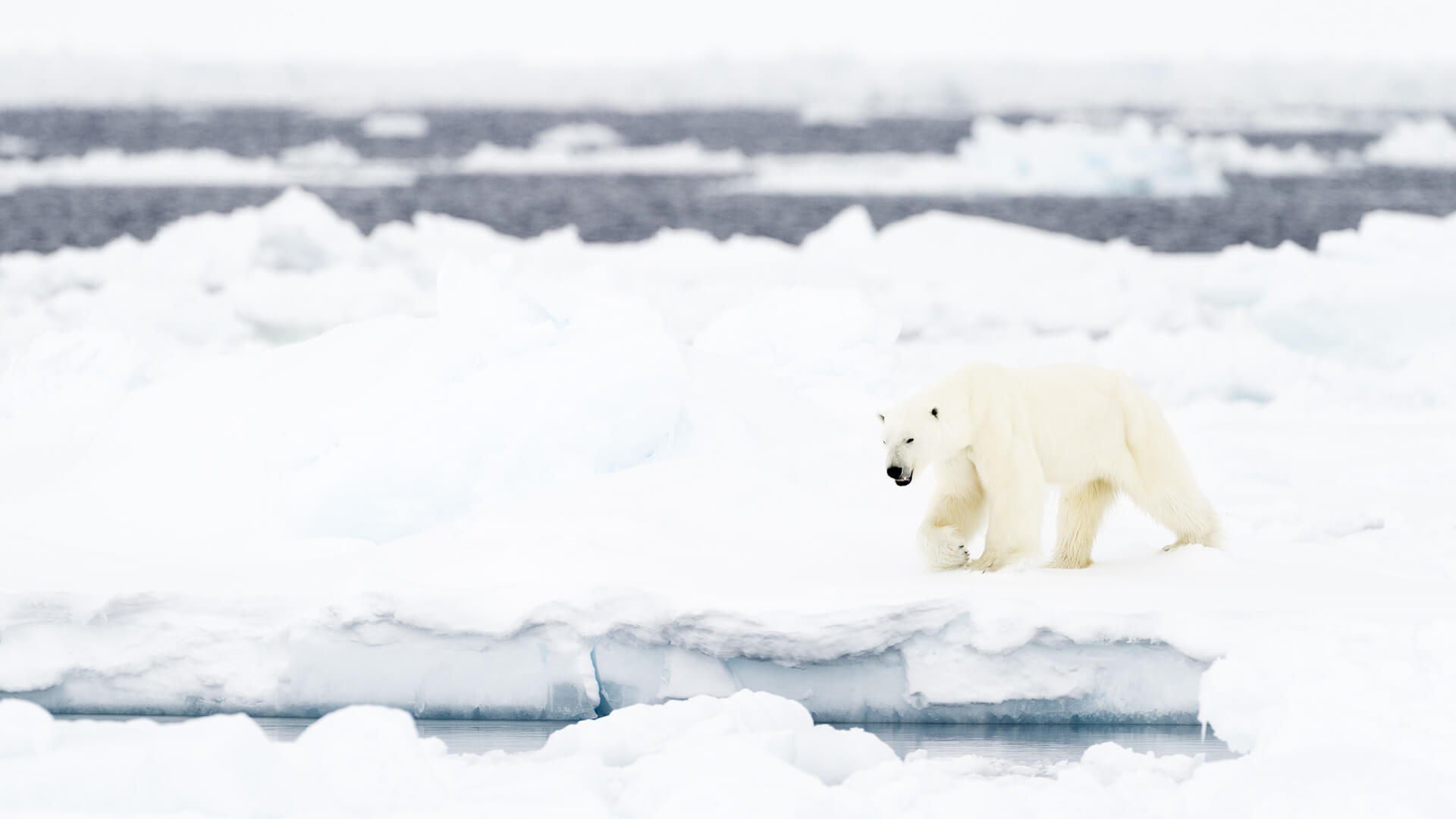 Best Time To See Polar Bears In Svalbard