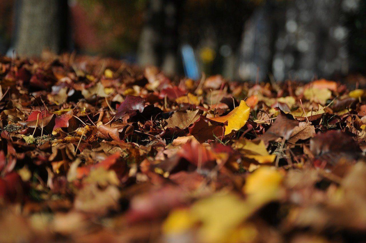 Falling Maple Leaves Wallpaper Por Qu 233 Caen Las Hojas En Oto 241 O Naturascape