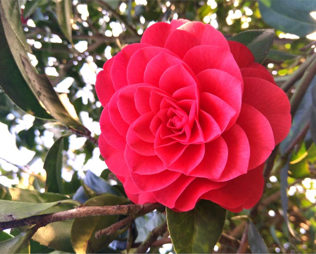 camellia pruning caring for