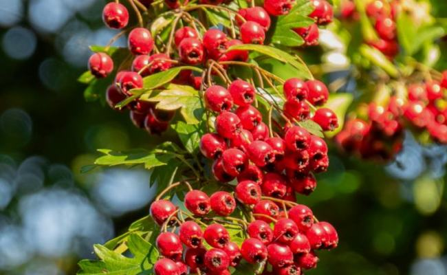 Hawthorn Planting Pruning Care For This Useful Hedge