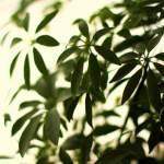 Schefflera All The Tips On Caring For This Fast Growing Office Or Houseplant