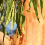 Eucalyptus Planting Pruning And Care Dealing With Root Suckers More
