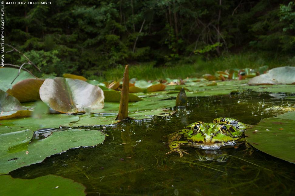Pool frog.