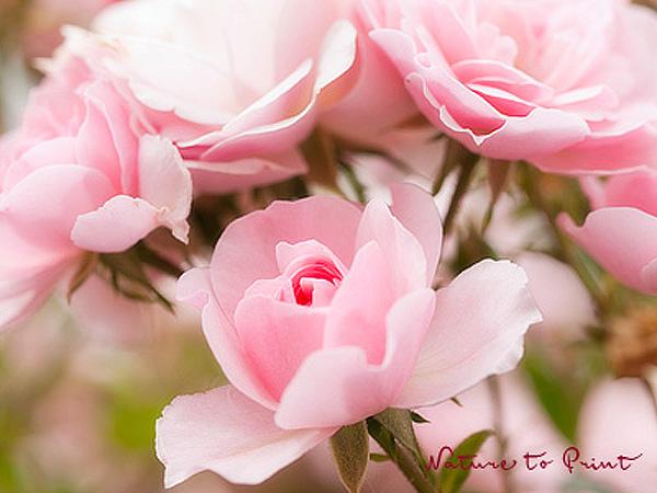 Kunstdruck oder Leinwandbild mit rosa Rosenblte