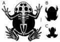 Beelzebufo a confronto con le rane più grandi viventi sul Pianeta [credit: PNAS]